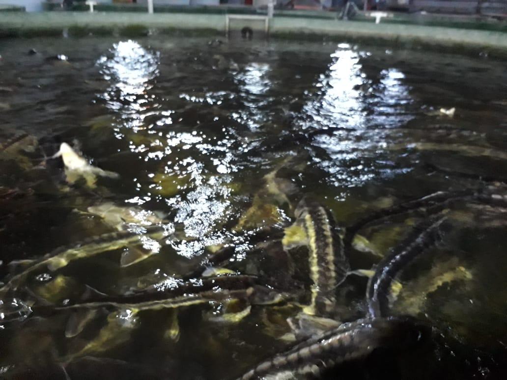 Проект Охрана осетровых пород рыб Каспийского моря